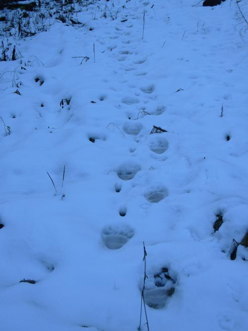 Pista di orso su neve