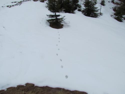 Pista di lince , Alpi Giulie tarvisiane